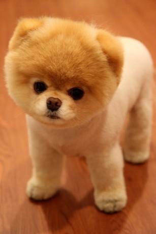 Boo zvolen jako nejroztomilejší pes světa.